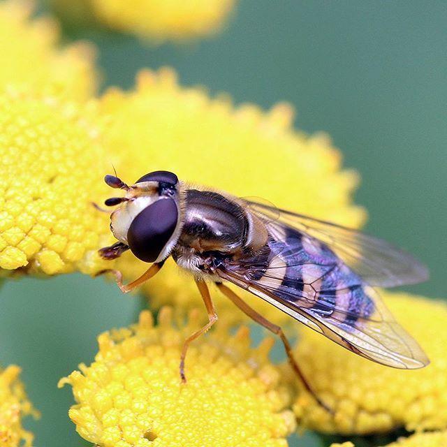 #ötökkä #bug #nature #flylife #macro #macrophotography #macrolife #flower #macro_vision #closeup #mytinyworld #canon #canonphotography