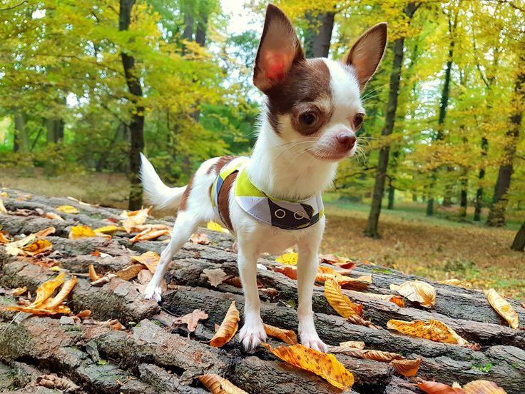 #chihuahua #chihuahualovers #dog #smalldog #funnydog #puppy #puppylovers #cuteanimals #dogclothes #chihuahuaclothes #chihuahuasweater #dogsweater