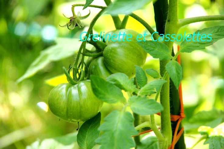 Comment sauvegarder les pieds de Tomates après toute cette pluie ?