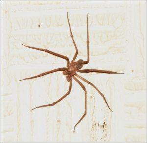 Evolución de la araña A través de las excavaciones arqueológicas se han hallado restos fósiles de arañas. Se cree que podrían ser hasta de 400 millones de años. Se cuentan con registros hay más de 50.000 especies que han sido identificadas. Hay información de las arañas que pudieron evolucionar de ancestros que son