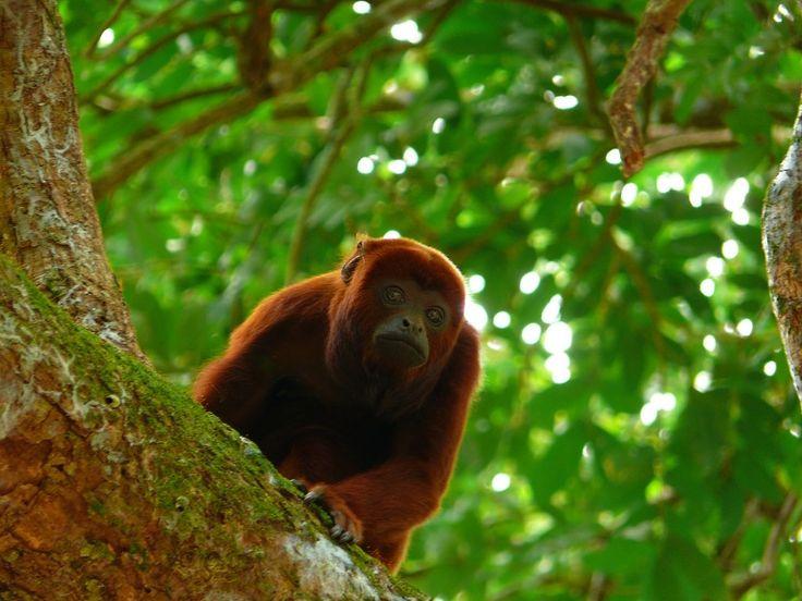Los #monos aulladores tienen un pequeño tamaño pero un aparato aullador capaz de rugir como un tigre, lo cual determina el tamaño de sus #testículos.