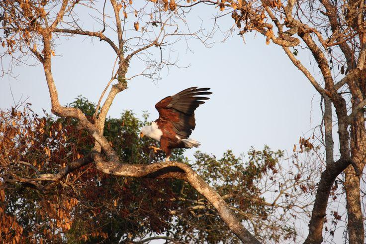 Fish Eagle at Lake Mburo, Uganda. #eagle #bird #birds #birdlovers #birdwachers #lake #lakes #nature #adventure #uganda