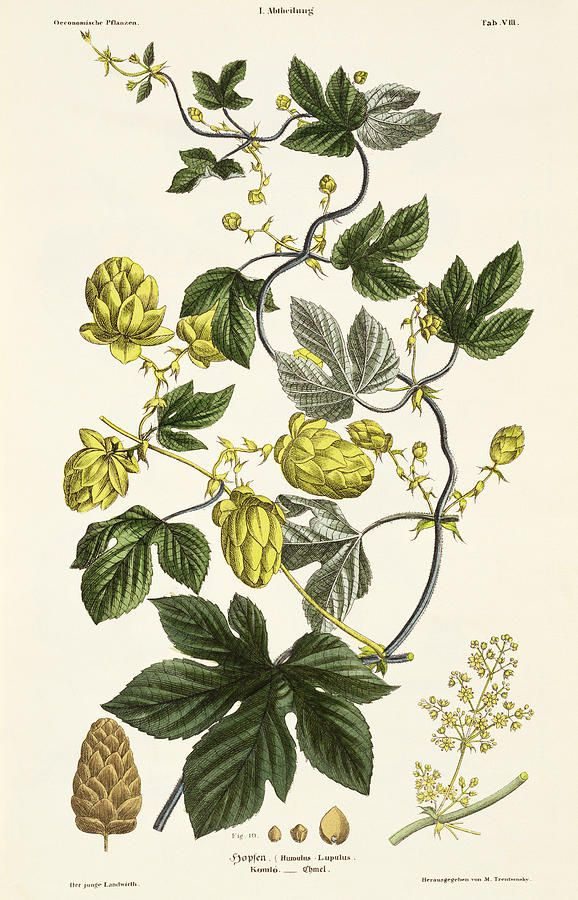 Humal. Hop Vine, from 'The Young Landsman', published Vienna, 1845