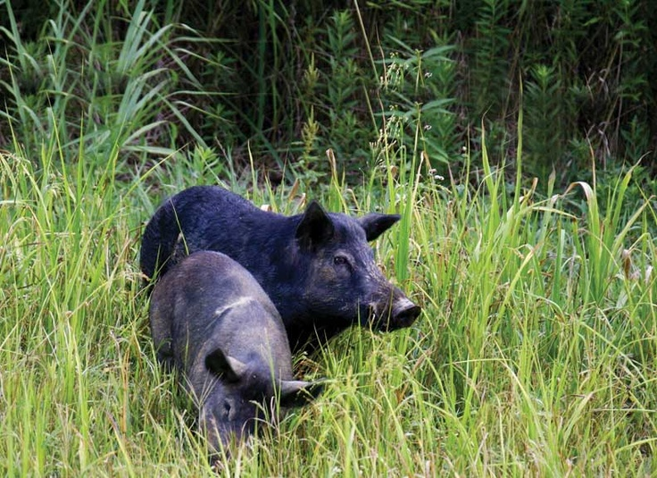 surviving in the wild wild hogs Wild pigs typically live in grasslands, wetlands, rain forests, savannas, scrublands and temperate forests latest on pigs, hogs & boars: facts about swine.