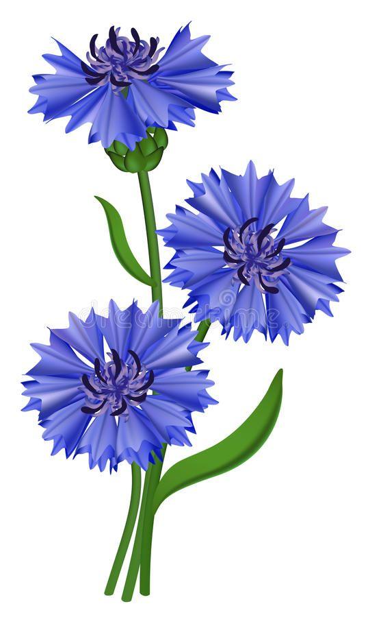 Download Flowers Blue Cornflower Centaurea Cyanus Stock Vector Image 19751876 Watercolor Flowers Blue Flowers Flower Painting