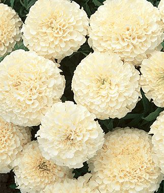 "Marigold, French Vanilla Hybrid - 24"" bushy plants, odorless, blooms up to 3"" across. Burpee."