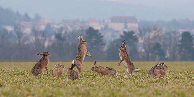 GREAT HUNTING: Zaječí kolonie. Zajíci používají společné chodníky...
