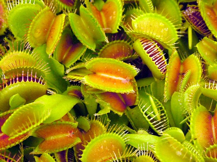 The Hunting Strategies of Carnivorous Plants | Mental Floss
