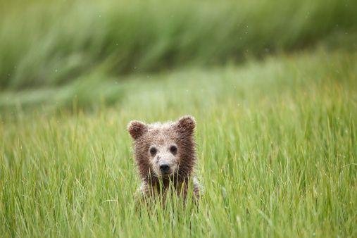 Grizzly Bear (Ursus arctos horriblis)
