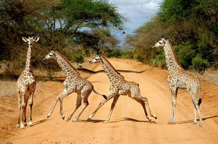Baby giraffe (Giraffa camelopardalis) on the Tsavo East National Reserve safari in Kenya- TripBucket
