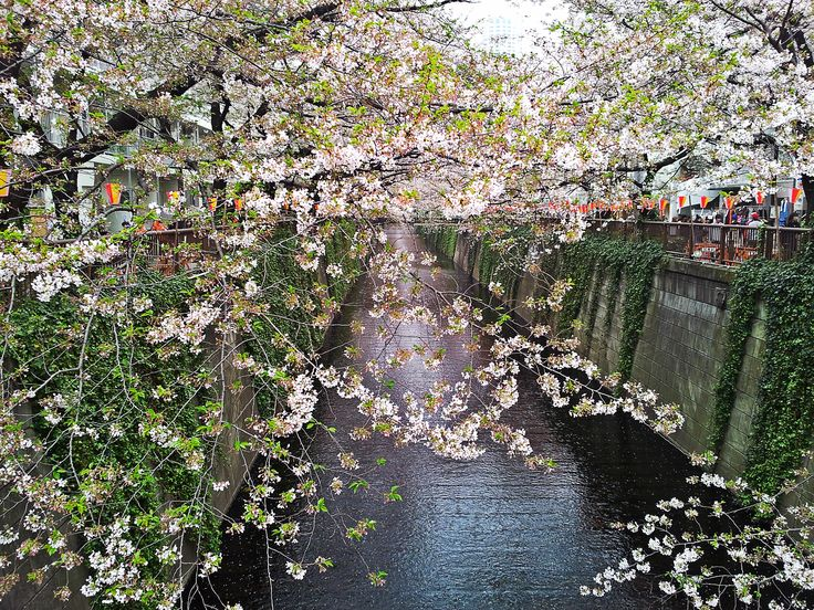 sakura. Pic by me. #cherryblossoms #cherry #blossom #trees #nature #flowers #pink #river #sakura #hana #ciliegio #nakameguro #tokyo #japan #spring #hanami