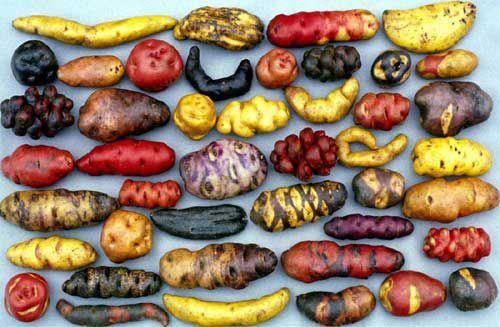 peruvian potatoes: Peruvian Potatoes, Farmers, Preserves, Color, Roots Vegetables, Gardens, 10 Years, Pine Needle, Natural Food