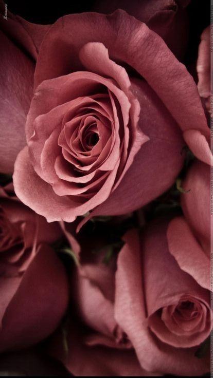 Marsala Roses #flowers