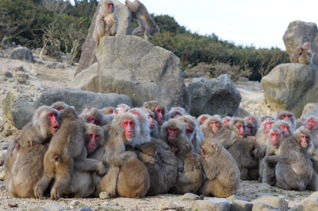小豆島 猿団子  Shoudoshima Monkey Dumpling