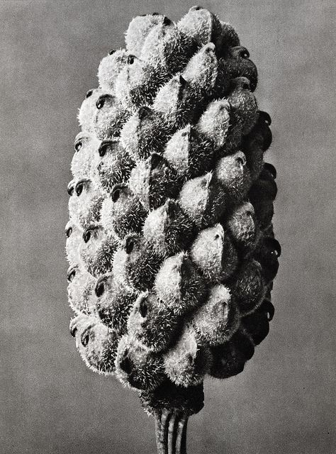 Karl Blossfeldt - Adonis, 1929 by The History of Photography Archive, via Flickr