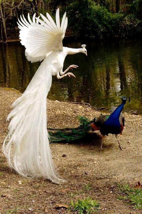 Best Peacocks Images On Pinterest Great Photos Landscapes - Flying peacocks look like mythical creatures