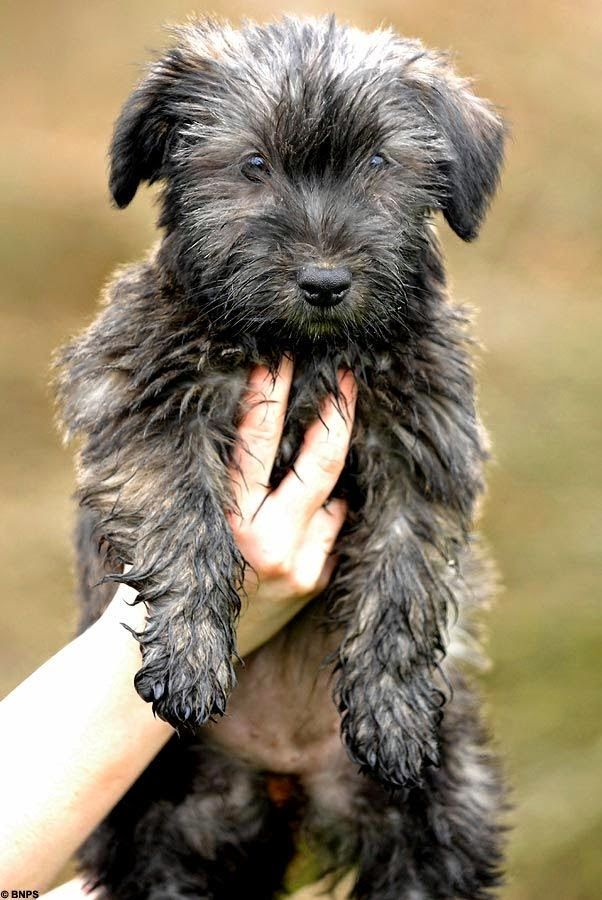 Top 10 Dog Breeds For Lazy Owners. Glen of Imaal Terrier - I think this is my next dog