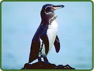 Galapagos Penguins are rare and unique.  They inhabit the warm Galapagos Islands just south of the Equator and off the western coast of South America.