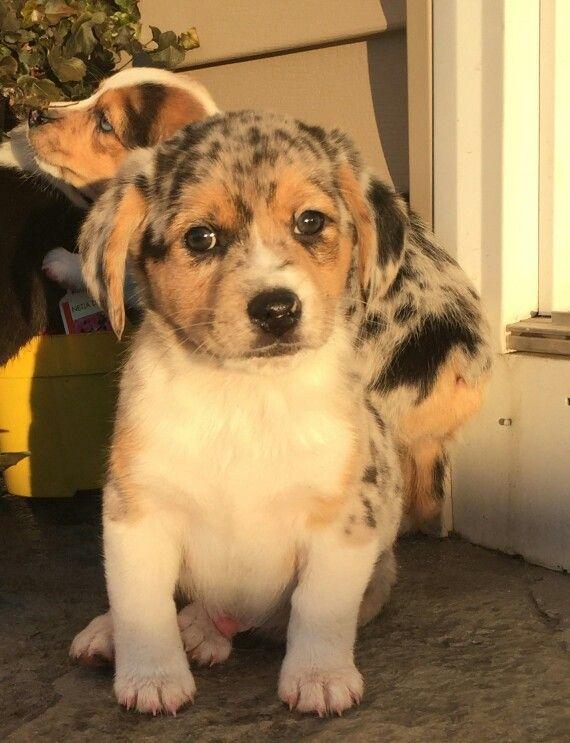 Australian Shepherd Beagle mix | pintrest | Pinterest ...