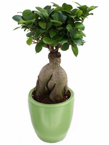 Bonsai ficus Ginseng, un albero piccolo ma allo stesso tempo forte e resistente.