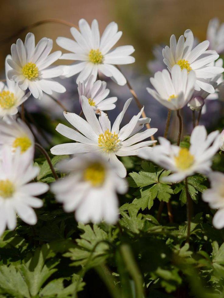 Koop Anemone blanda 'White Splendour' bij De Warande. De Anemone blanda 'White Splendour' is een Oosterese Anemoon met een stralende witte bloem.