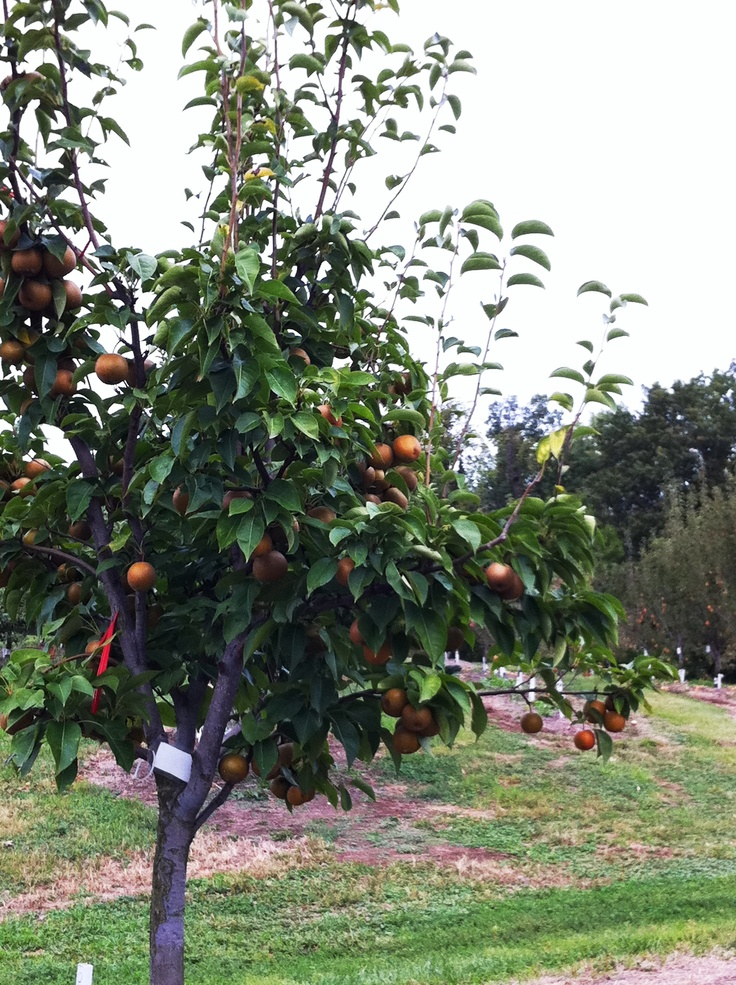Asian pear tree for sale