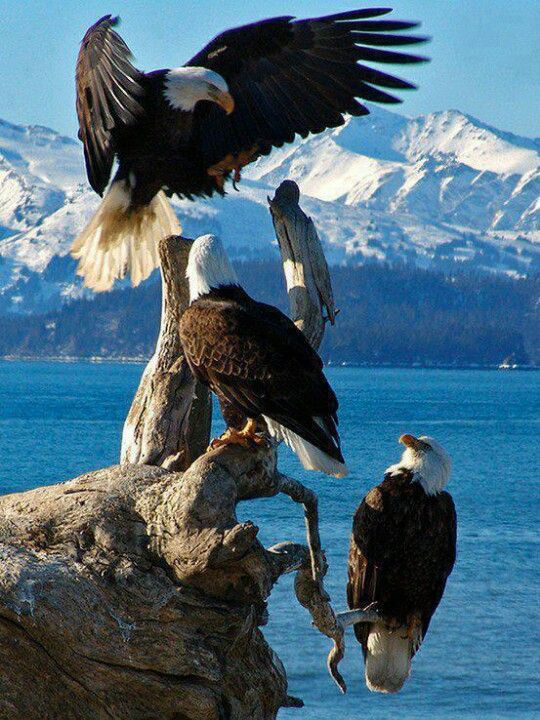 Of you national bird !! Bald Eagles, Homer, Alaska, United States.