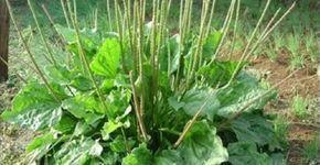 Vamos falar agora de uma das mais poderosas plantas medicinais.Que planta é essa?É a tanchagem, cujo nome científico é Plantago major.Esta planta é muito especial.Ela limpa o sangue e os pulmões.