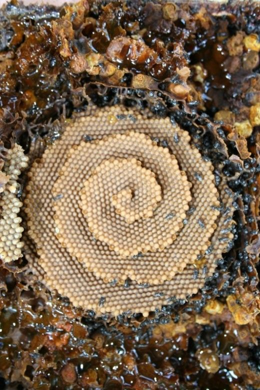 Fractal spiral forms in nature - Australian Stingless Native Bees - Spiral honey comb