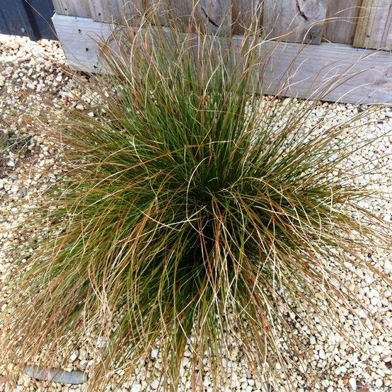 Pinterest for Hardy ornamental grasses