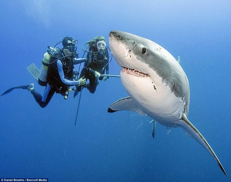Divers approach a Great White Shark