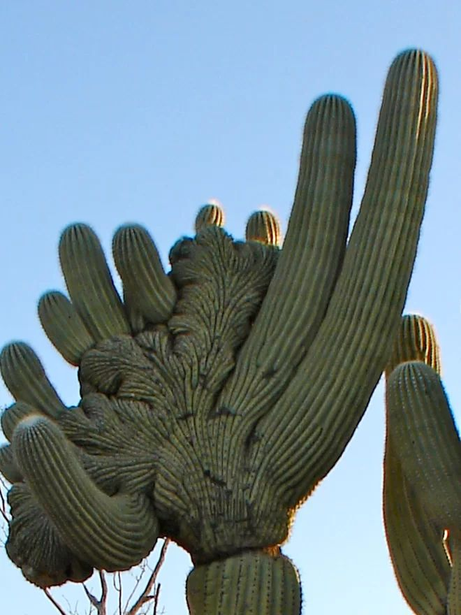 Because they are rare, and because of their bizarre growth patterns, the crested saguaro cacti of the Sonoran Desert are always in danger from illegal cactus poachers. Strict federal and state laws against saguaro poaching and an increase in public knowledge and awareness of the potential dangers are all helping protect these unique natural desert treasures from harm.