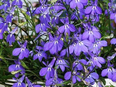 sinilobelia (Lobelia erinus)