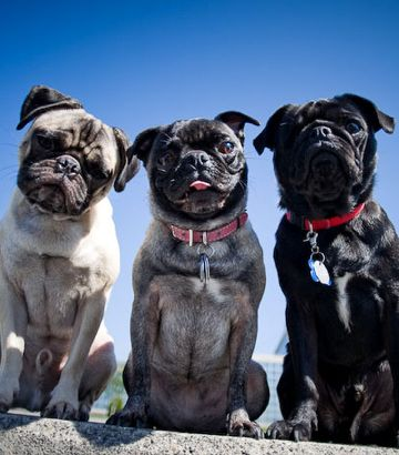 Pug posse - one in every shade!
