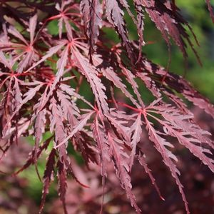 See our large selection of Japanese Maples for your landscape or garden, delivered to your home.