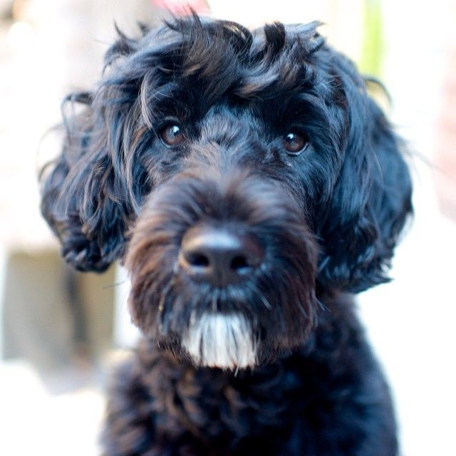 39 Best Images About Portuguese Water Dogs On Pinterest