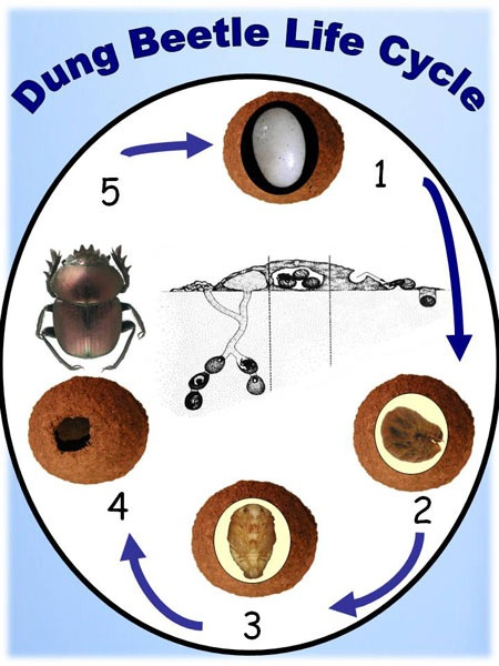 Dung Beetle life cycle.