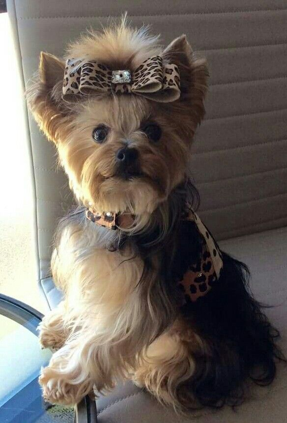 Best 25+ Yorkie clothes ideas on Pinterest | Puppy clothes ...