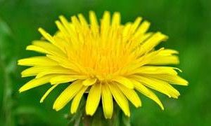 Don't kill that dandelion!! Use it for your health and healing! http://healthandhealingwithherbs.com/12-powerful-dandelion-health-benefits-that-you-need-to-know