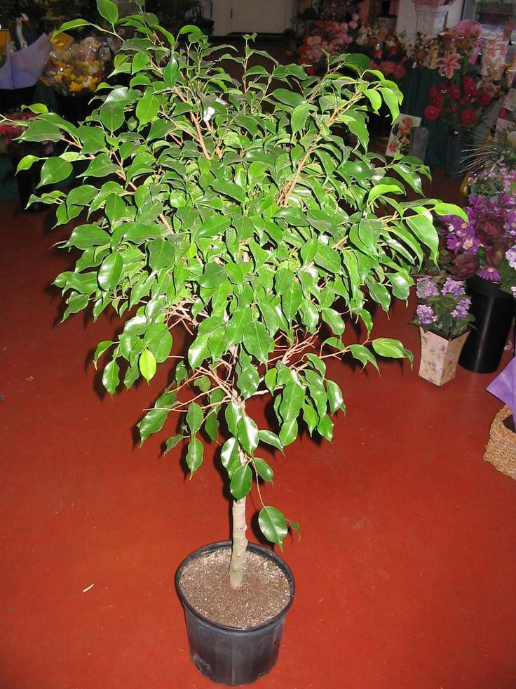 Ficus (Weeping Fig) Standard