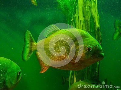 Piranha fish in aquarium,raptor pish