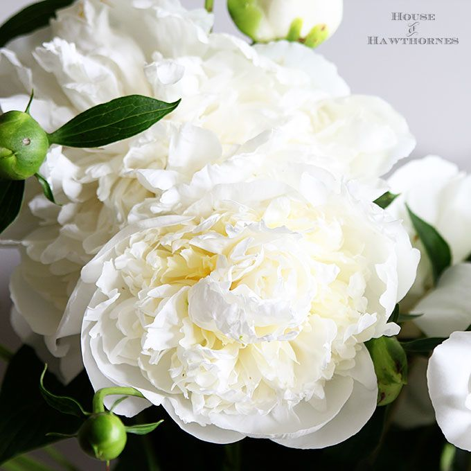 how to grow peonies your neighbors will envy - How To Cut Peonies