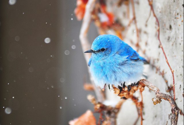 Fluffy Bluebird by Kevin Casey Fleming on Flickr.   a beautiful world