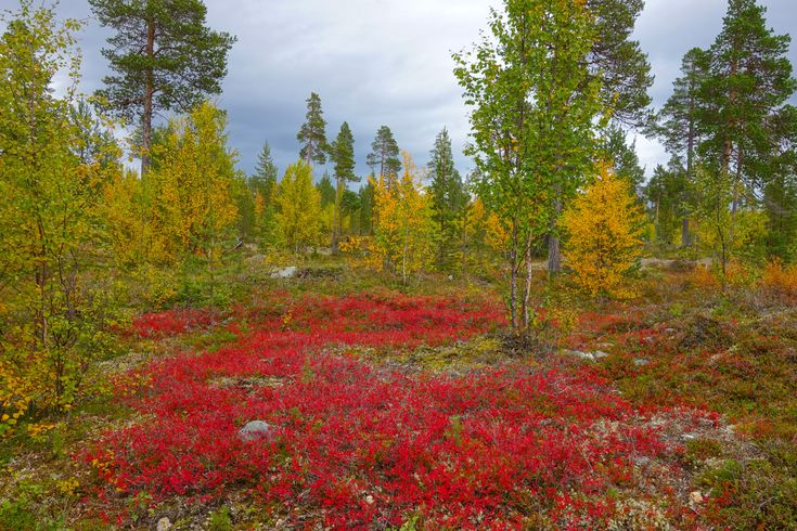 Warm, lemon-yellow sunshine on a cornflower blue lake; the sound of leaves falling in the forest like soft rain; carpets of crimson berries crunching underfoot – nowhere does autumn come in such a burst of sensory glory as in Finland.  Locals even have a special name for the fleeting season, ruska, and for a few short weeks in September and early October ruska pilgrims head out to catch summer's final flourish before the winter darkness descends.