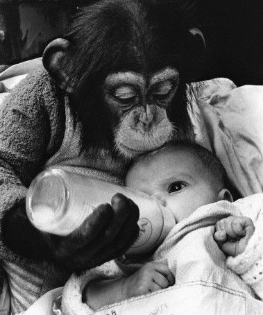 A chimpanzee feeds a baby girl from a bottle,  1969 - by John Drysdale, UK: