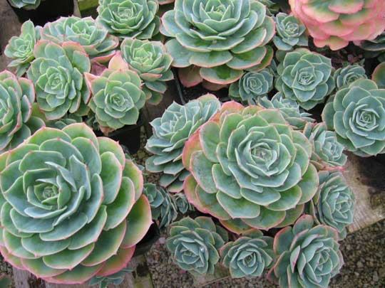 Echeveria Geranium or Hen and Chicks. A classic with a nice texture. #succulents