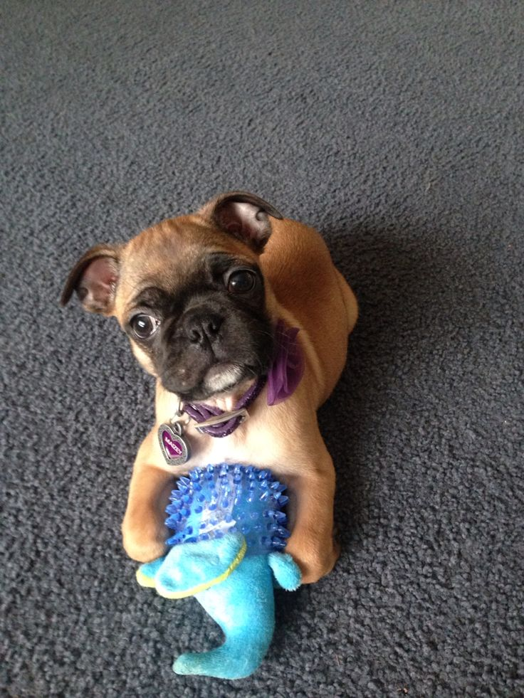 Maizey....the bugg puppy. Boston terrier and pug mix