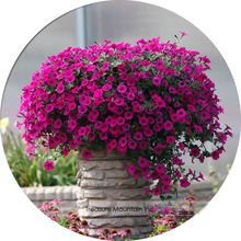 Imported Very Beautiful Hanging Bonsai Petunia Flower Seeds, Professional Pack, 200 Seeds / Pack, Plant all Seasons Available(China (Mainland))
