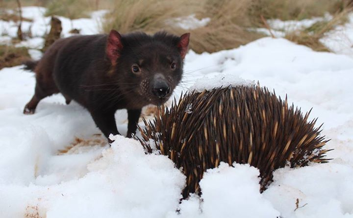 Devil Ark: Tasmanian Devil meets Echidna