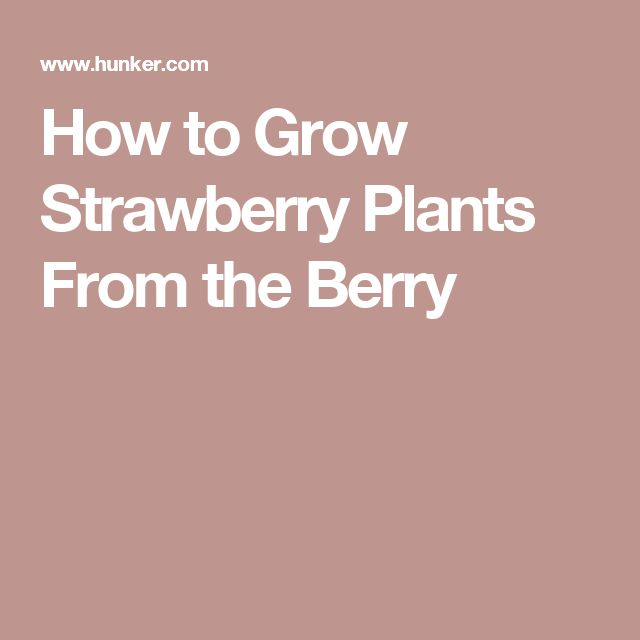 how to get rid of sugarants amongst the strawberryplants